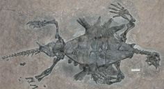 The discovery of three fossilised turtles has resolved a long-running debate about how the creatures' shells evolved