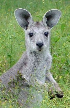 Wallaroo    | nature | | wild life | #nature #wildlife  https://biopop.com/