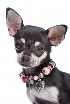 chihuahua My Anne Marie looks alot like this