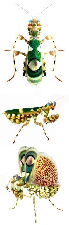 Chlidonoptera vexillum Más