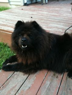 My man! Best Dogs For Families, Family Dogs, I Love Dogs, Cute Dogs, Zoo Animals, Cute Animals, Chow Chow Dogs, Chow Puppies, Chinese Dog