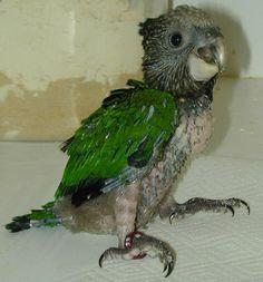 baby Hawk-headed Parrot