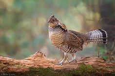 Capture Minnesota Photo Contest - Favorite drumming log by Mike Lentz Most Beautiful Birds, Animals Beautiful, Cute Animals, Hunting Art, Hunting Dogs, Bird Pictures, Animal Pictures, Ontario Birds, Grouse Hunting