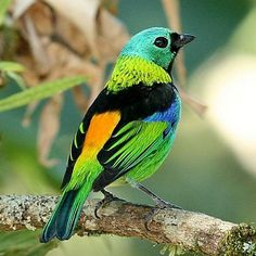 One of the #prettiest birds there is... The #paradise #tanager  #cutestever #bird #pretty #thosecolors #