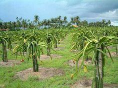 Dragon fruit trees in Thanh Long, Vietnam