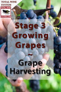 Grape Harvesting-An Overview - The Total Wine System Grape Vine Trellis, Grape Vines, Fruit Plants, Fruit Garden, Grape Vineyard, Backyard Vineyard, Grape Plant, Homemade Wine, Home Vegetable Garden