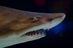 Grey nurse shark 2 - Sand tiger shark - Wikipedia, the free encyclopedia