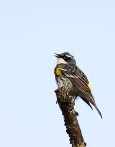 Yellowrumped Warbler Male
