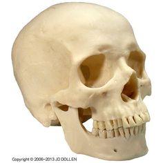 Life-Size Human Skull