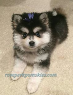 Pomsky Blue Eyes Pomsky Puppy Training Pomsky Pals