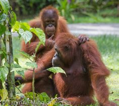 Semenggoh Orangutan Sanctuary, Borneo