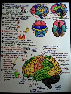Brain structure and function - MCAT Biology and Psychology Brain Anatomy, Anatomy And Physiology, Grey's Anatomy, Nursing School Notes, Medical School, Nursing Schools, High School Biology, Ap Biology, Science Biology