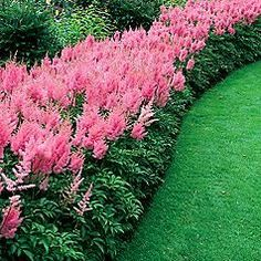 Astilbe in a border