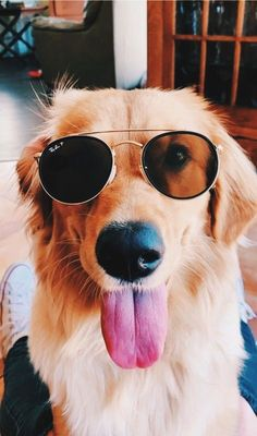 Cute little golden retriever puppy dog wearing rayban aviators sunglasses. Cute Baby Dogs, Cute Dogs And Puppies, I Love Dogs, Doggies, Super Cute Dogs, Baby Puppies, Cute Little Animals, Cute Funny Animals, Cute Animal Photos