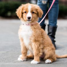 "thedogist:  Lola, Nova Scotia Duck Tolling Retriever (11 w/o), Stuyvesant Square, New York, NY • ""This is the first time she's set foot on the New York streets, though she's moving to Jackson, WY tomorrow. My family grew up with Pugs, but we needed a dog that could handle being outdoors in Wyoming. It's impossible to walk down the street with her without being stopped."" @tetontoller"