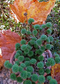 Sedum from Algeria  Sedum multiceps