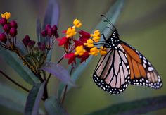 Weed-killer Roundup, imported milkweed deterrents - For Monarch #Butterflies a Long Road Back NYTimes.com #eco