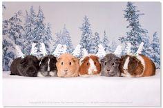 Guinea Pig Reindeer... MERRY CHRISTMAS!