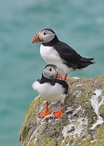 Lunder/Puffins Farao by Agnete Dollerup in the FASO Daily Art Show