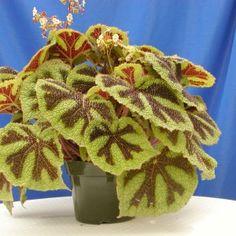 Begonia Iron Cross Begonia, Cat Safe Plants, Unusual Plants, Plantar, Houseplants, Burlap Wreath, Dinosaur Stuffed Animal, Iron, Garden