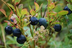 The Original Fruits and Vegetables of the Paleo Diet Blueberry Plant, Blueberry Farm, Blueberry Season, Blueberry Bushes, Top 10 Healthy Foods, Healthy Recepies, Blue Fruits, Wild Blueberries, Organisation