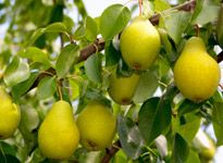 Fruit trees add beauty to your yard and let you enjoy a bountiful harvest. The Home Depot can help you select the best trees for your region. For more great lawn and garden inspiration, join The Home Depot's Garden Club.