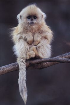 Chinese golden snub nosed monkey. MONKEY!