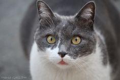 © copyright Marco Galli. Il suo sguardo fiero su due gocce d'amore, una carezza ai suoi giochi e di corsa scoprire che il vento è una culla.  Il gatto mi ha fatto scoprire che la vita è sostanza morbida e malleabile, come morbido e malleabile scorre il suo corpo.   Proprio così, un poco in più di rosso sui miei pennelli, un velo di speranza in ogni pensiero.   Guardando il mio gatto ho imparato ad arrampicarmi sui miei sogni.
