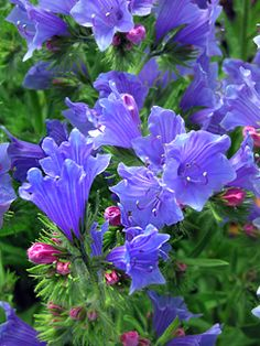 """Echium plantagineum """"Blue Bedder"""" -- bees love this All Flowers, Summer Flowers, Amazing Flowers, My Flower, Flower Power, Deer Resistant Flowers, Awsome Pictures, Hardy Plants, Exotic Plants"""