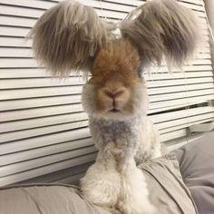 天使の羽を持つウサギ、アンゴラウサギのウォーリーくんのモフ毛に密着なのだ - グノシー