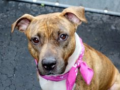 TO BE DESTROYED – 4/16/15 – ROXIE – A1031443 – MANHATTAN, NY