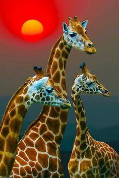 Giraffes and Sunset Reminds me of the Giraffes we saw at the wildlife park when we went to Disneyland last year