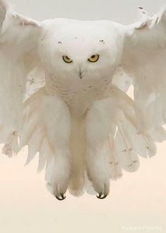 white owl in flight