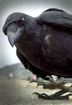 Raven or crow Raven Bird, Quoth The Raven, Beautiful Birds, Animals Beautiful, Cute Animals, Beautiful Pictures, Crow Art, Bird Art, Jackdaw