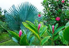 Pink Ginger plant infront of a Bismarckia palm.