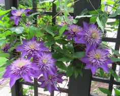 Multi-Blue Double Flowering Clematis