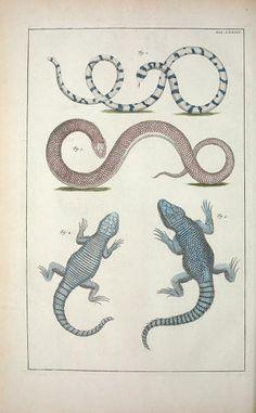 1734-65 - Cabinet de Seba ... or Locupletissimi rerum naturalium thesauri accurata descriptio, et iconibus artificiosissimis expressio, per universam physices... by albertus seba