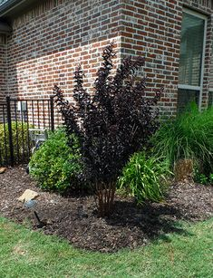 Black Diamond Crape Myrtles have bright red flower and black leaves which makes an excellent accent piece to landscapes around Dallas, Texas. Crepe Myrtle Landscaping, Myrtle Tree, Black Leaves, Dallas Texas, Flower Beds, Red Flowers, Black Diamond, Curb Appeal, Shrubs
