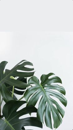 Wallpaper xx Facetune used to whiten background Leaves Wallpaper Iphone, Plant Wallpaper, Tropical Wallpaper, Hd Phone Backgrounds, Green Leaf Wallpaper, Wallpaper Desktop, Phone Wallpapers, Aesthetic Backgrounds, Aesthetic Iphone Wallpaper