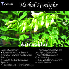 In Traditional Chinese Medicine, the herb was hailed as a protector against stresses, both mental and physical. Astragalus provides health benefits to a number of body systems and ailments.    Because of the tremendous success of so many research studies and trials, new information about astragalus is coming to light all the time. In general, its greatest strength is preventing and protecting cells against cell death and other harmful elements, such as free radicals and oxidation.