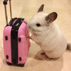 This little chinchilla also loves to travel. | This Is The Most Important Chinchilla On Instagram Right Now