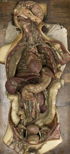 Anatomical wax model made by Francesco Calenzuoli (1796-1821)