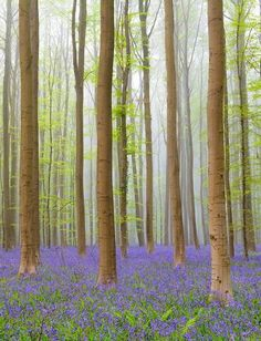Hallerbos Forest: Halle, Belgium - Believe it or not, the mystical and fairy tale-like forest portrayed in these beautiful photos actually exists. Visit this Belgian forest at just the right time in the spring, and you'll feel as if you've stepped into a dream. Visitors can stroll the winding paths, and watch for rabbits and deer that wander through the green and azure woods.