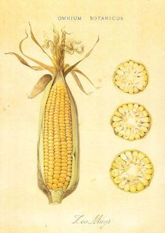 Zea mays ~ by Nigel Edwards ancient botanical illustration Vegetable Illustration, Science Illustration, Nature Illustration, Botanical Illustration, Botanical Drawings, Botanical Prints, Art Postal, Illustration Botanique, Poster Art