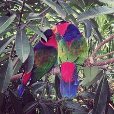 Love is in the air... Thank you @Chiara Bertoldini ! // #italianiasingapore #italiansinsingapore #singapore #bird #parrot #travel #holiday #vacanze #vacation #viaggio #transfer #trip #expat #explore #expatriate #espatriati #lavoro #asia #green #nature #color #colourful #colour #spring #love #kiss