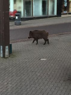 Wild boar on the streets of Cinderford near Forest of Dean
