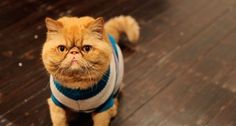 Exotic shorthair Persian cat. I must have him!