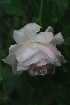 Rosa 'Juno' (origin unknown, before 1820)