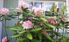 Alppiruusu alkoi kukkia 3.6