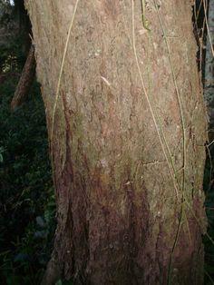 Nectandra megapotamica - Canela-imbuia, Canela-preta, Canela-merda. Flora Digital do Rio Grande do Sul e de Santa Catarina: Nectandra megapotamica